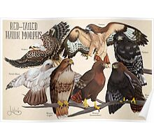 Red-Tailed Hawk Morphs Poster