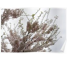 Springtime Abundance - Gently Pink Cherry Blossoms Poster