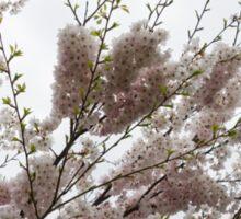 Springtime Abundance - Gently Pink Cherry Blossoms Sticker