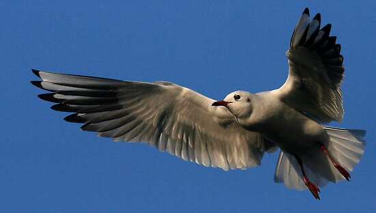 Flight Of The Gull by snapdecisions