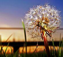 A Dandelion At Sundown. by Aj Finan