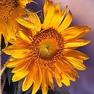 Sun Flower by Jay Reed