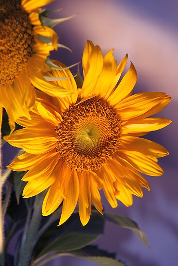 Sun Flower by Jay Reed