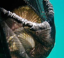 Scallops in Catchbag by trevallyphotos