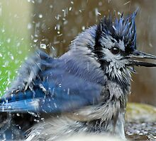 Blue Jay Bath by Bill McMullen