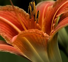 In The Spotlight - Daylilly by JHRphotoART
