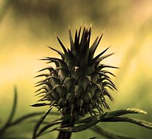 Thorn by Nuno Pires