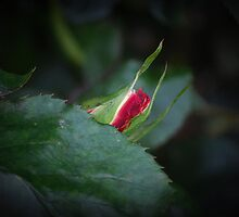 Rosebud Poking Out by Jonice