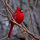 A Male Cardinal by Regenia Brabham