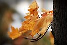 Maple Leaves by Jan  Tribe