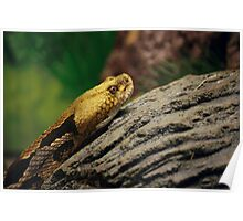 Timber Rattlesnake Poster