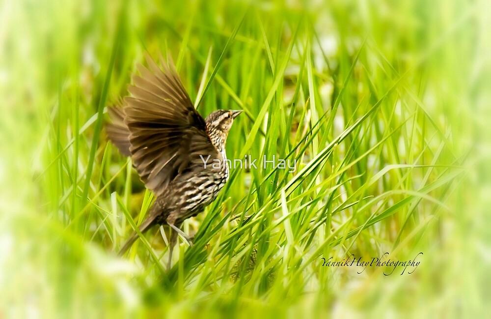 Female Red Winged Blackbird Wings Opened by Yannik Hay