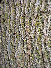 Mossy Walnut Bark by MarjorieB