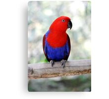 Sitting Pretty - Eclectus parrot Canvas Print