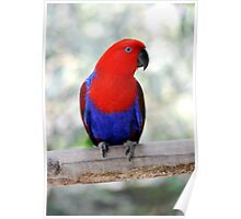 Sitting Pretty - Eclectus parrot Poster
