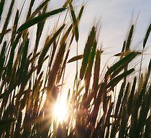 sun setting, seen through the wheat field by Cheryle  Kupsch