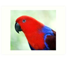 Simply Red - Eclectus parrot Art Print