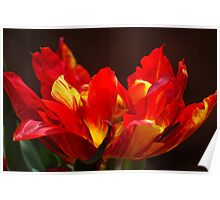Flamin Tulip Poster