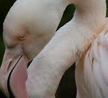 Greater Flamingo - Adelaide Zoo by nicolebartsch