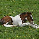 foal relaxing in field of buttercups by monkeyferret