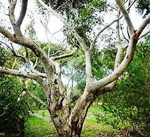 Sugar Gum Tree  by EdsMum