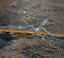 Damselflies, and a Video by dougie1page2