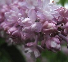 Lovely Lilacs by MarianBendeth