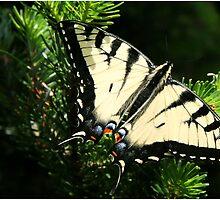 Eastern Tiger Swallowtail by BekkaLynn