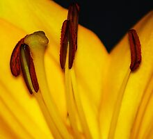 Yellow Lilly by Deborah McGrath