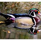 Wood Duck Reflection by Paulette1021