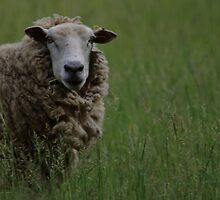 Spring Sheep by iainf2010