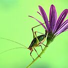 Katydid on flower by jimmy hoffman