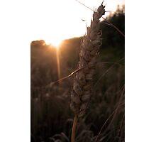 Barley Photographic Print