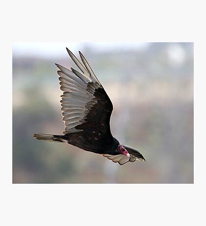 Turkey Vulture In flight Photographic Print