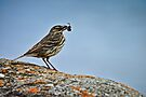 Rock Pipit, Anthus petrosus by David Lewins