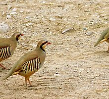 Chukar Parade by CarolM