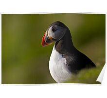 Atlantic Puffin (Fratercula arctica) Poster