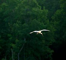 White Ibis flying by just before sunset by Ann Reece