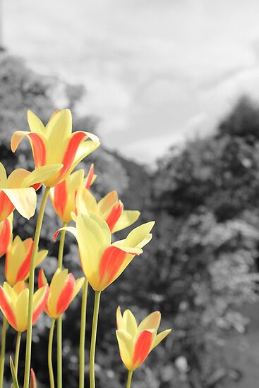 Tulips Brightening up the Garden by Neil MacGregor