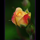 Rose Bud by Rich Summers