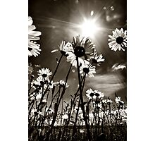 sundrenched daisies ..... Photographic Print