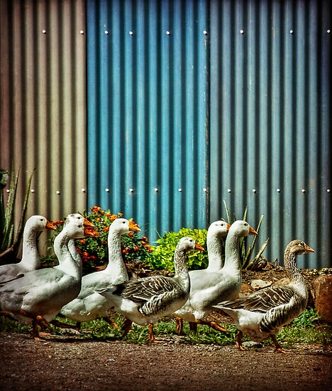 gaggle by Rosemary Scott