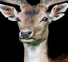 (Good) night deer  by Debbie Ashe