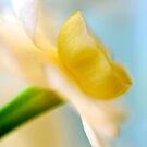 Daffodil by Renee Hubbard Fine Art Photography