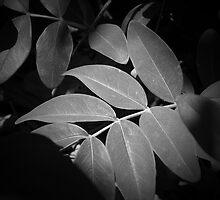 Spotlit Leaves B/W by condyak