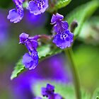 Lavender Catmint by T.J. Martin