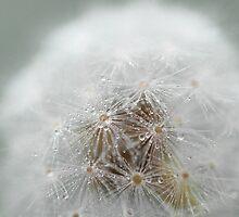 Misty dandelion by Morag Anderson