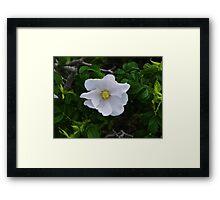 White Beach Rose Framed Print