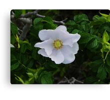 White Beach Rose Canvas Print