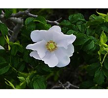White Beach Rose Photographic Print